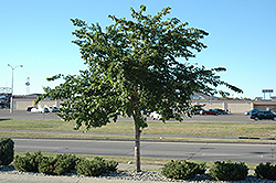 Prairie Expedition Elm (Ulmus americana 'Lewis & Clark') at Cashman Nursery