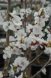 Moongold Apricot (Prunus 'Moongold') at Cashman Nursery