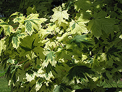 Variegated Norway Maple (Acer platanoides 'Variegatum') at Cashman Nursery