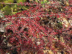 Ground Cotoneaster (Cotoneaster horizontalis) at Cashman Nursery