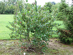 Viking Chokeberry (Aronia x prunifolia 'Viking') at Cashman Nursery