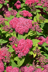 Double Play® Red Spirea (Spiraea japonica 'SMNSJMFR') at Cashman Nursery