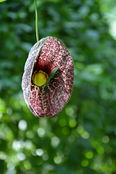 Dutchman's Pipe (Aristolochia macrophylla) at Cashman Nursery