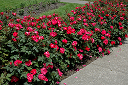 Knock Out® Rose (Rosa 'Radrazz') at Cashman Nursery