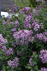 Bloomerang® Lilac (Syringa 'Bloomerang') at Cashman Nursery