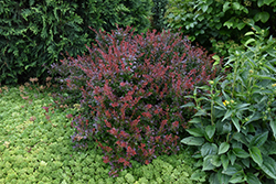 Crimson Ruby Barberry (Berberis thunbergii 'Criruzam') at Cashman Nursery