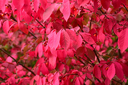 Winged Burning Bush (Euonymus alatus) at Cashman Nursery