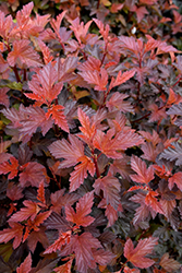 Coppertina® Ninebark (Physocarpus opulifolius 'Mindia') at Cashman Nursery