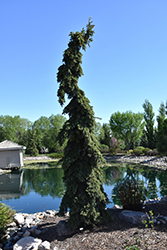 Weeping White Spruce (Picea glauca 'Pendula') at Cashman Nursery
