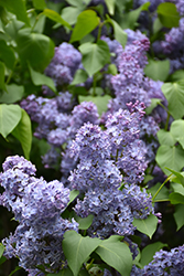 Wedgewood Blue Lilac (Syringa vulgaris 'Wedgewood Blue') at Cashman Nursery