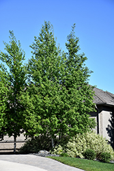 Trembling Aspen (Clump) (Populus tremuloides '(clump)') at Cashman Nursery