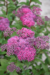 Superstar™ Spirea (Spiraea x bumalda 'Denistar') at Cashman Nursery