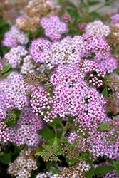 Little Princess Spirea (Spiraea japonica 'Little Princess') at Cashman Nursery