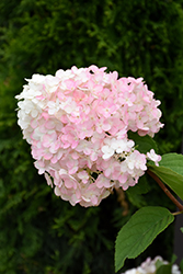 Strawberry Shake Hydrangea (Hydrangea paniculata 'SMHPCW') at Cashman Nursery