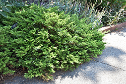 Buffalo Juniper (Juniperus sabina 'Buffalo') at Cashman Nursery