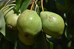Luscious Pear (Pyrus communis 'Luscious') at Cashman Nursery