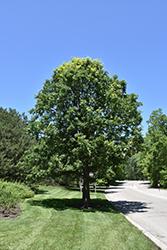 Bur Oak Quercus Macrocarpa In Bozeman Helena Butte