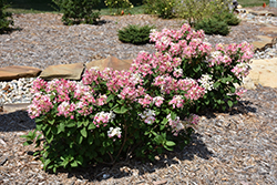 Little Quick Fire® Hydrangea (Hydrangea paniculata 'SMHPLQF') at Cashman Nursery