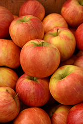 Honeycrisp Apple (Malus 'Honeycrisp') at Cashman Nursery
