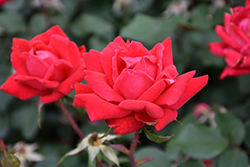 Double Knock Out® Rose (Rosa 'Radtko') at Cashman Nursery