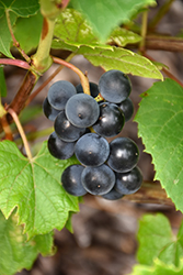 Beta Grape (Vitis 'Beta') at Cashman Nursery