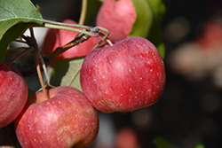 Chestnut Crab Apple (Malus 'Chestnut') at Cashman Nursery