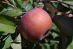 SnowSweet® Apple (Malus 'Wildung') at Cashman Nursery