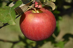 Freedom Apple (Malus 'Freedom') at Cashman Nursery