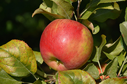 Red Duchess Apple (Malus 'Red Duchess') at Cashman Nursery